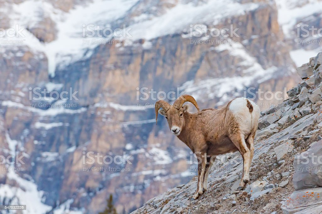 Rocky Mountain Bighorn Sheep (Ovis canadensis) stock photo
