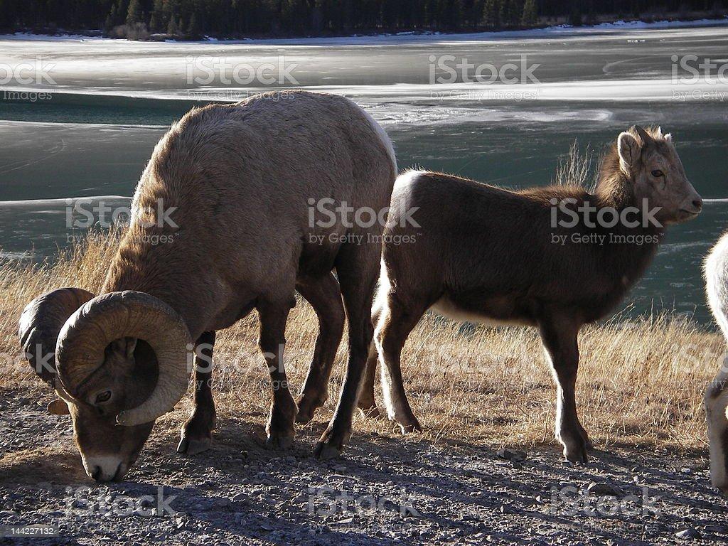Rocky Mountain Bighorn Sheep Ram royalty-free stock photo