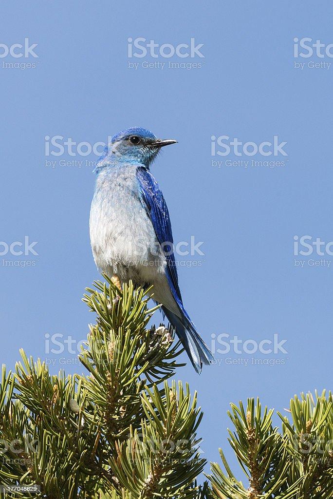 Rocky Mountain Blue Bird stock photo