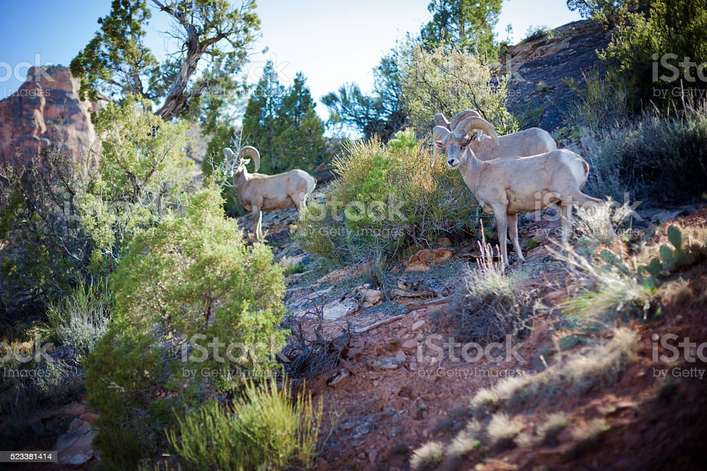 rocky mountain desert  bighorn sheep ewe stock photo