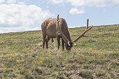 Rocky Mountain elk, grazing