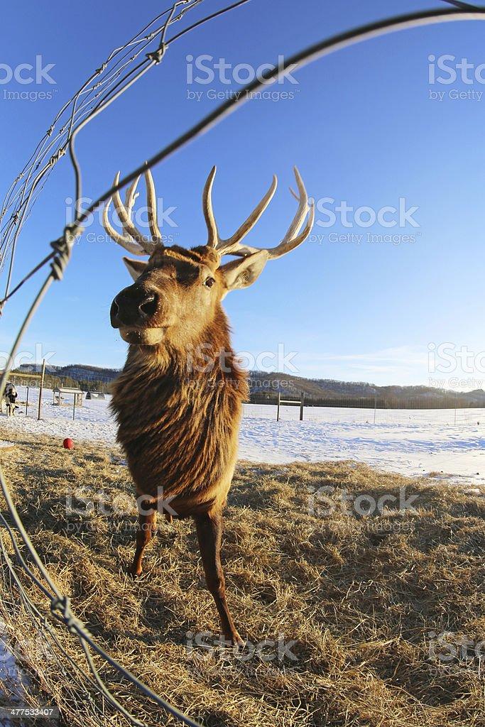 Rocky Mountain Elk in Captivity royalty-free stock photo