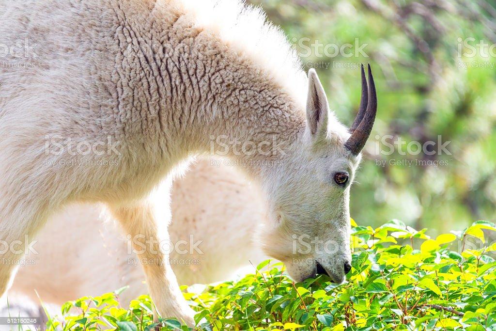 Rocky Mountain Goat Eating stock photo