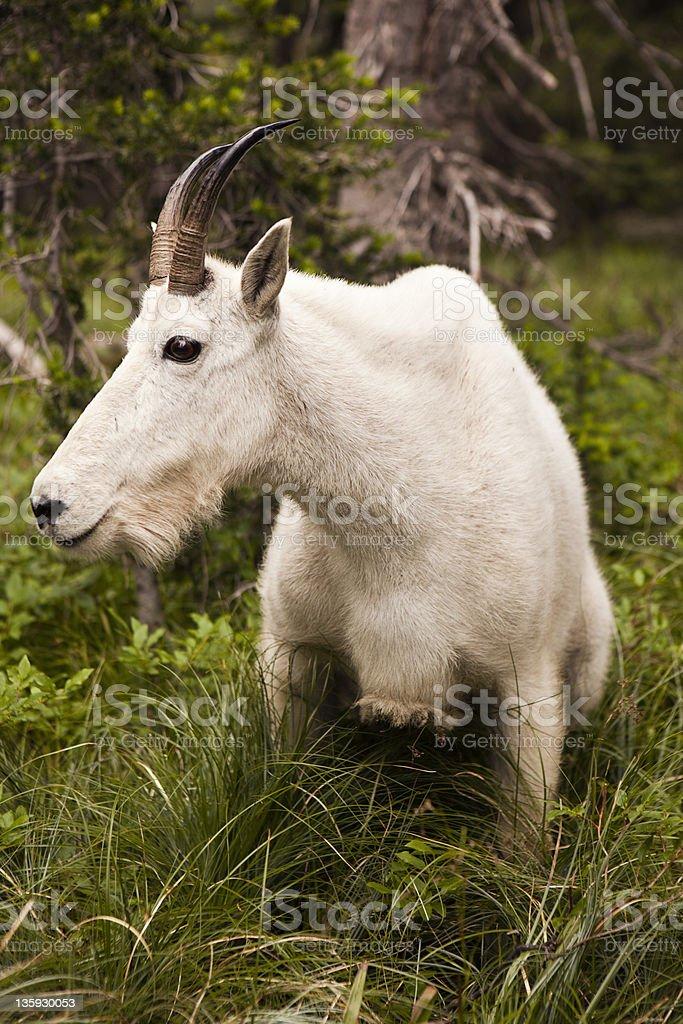 Rocky Mountain Goat stock photo
