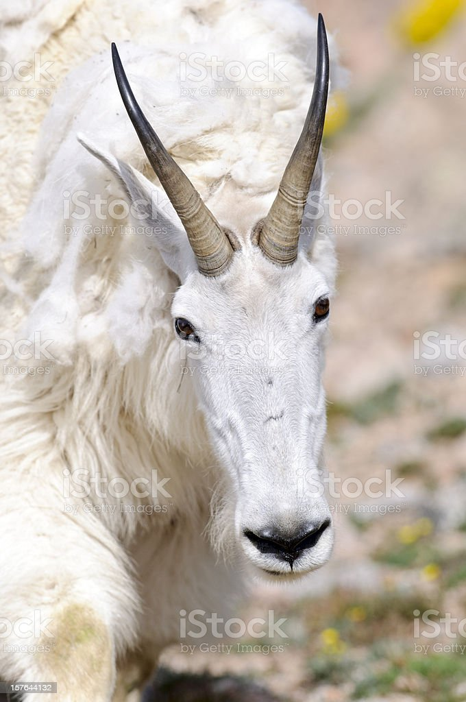 Rocky Mountain Goat (Oreamnos americanus) Portrait stock photo