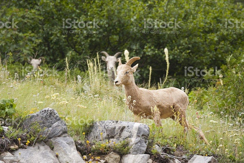 rocky mountain goats royalty-free stock photo