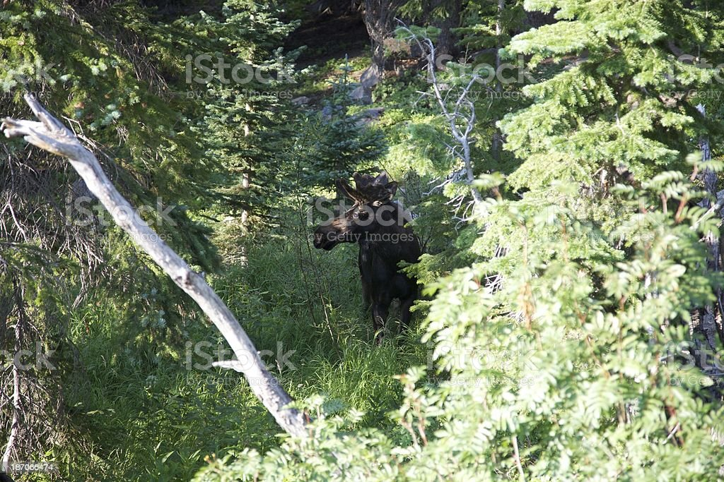 Rocky Mountain alce foto stock royalty-free