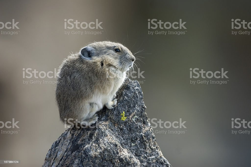 Rocky mountain pika stock photo