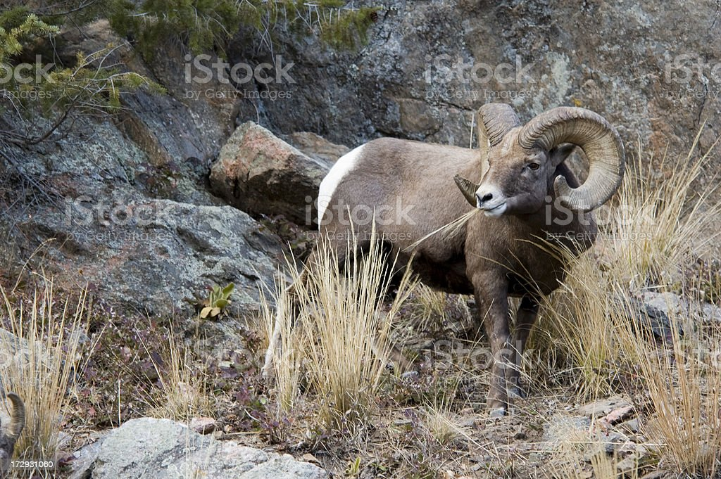 Rocky Mountain Ram stock photo
