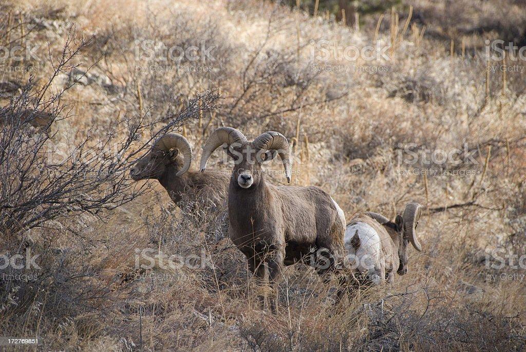 Rocky Mountain Rams royalty-free stock photo