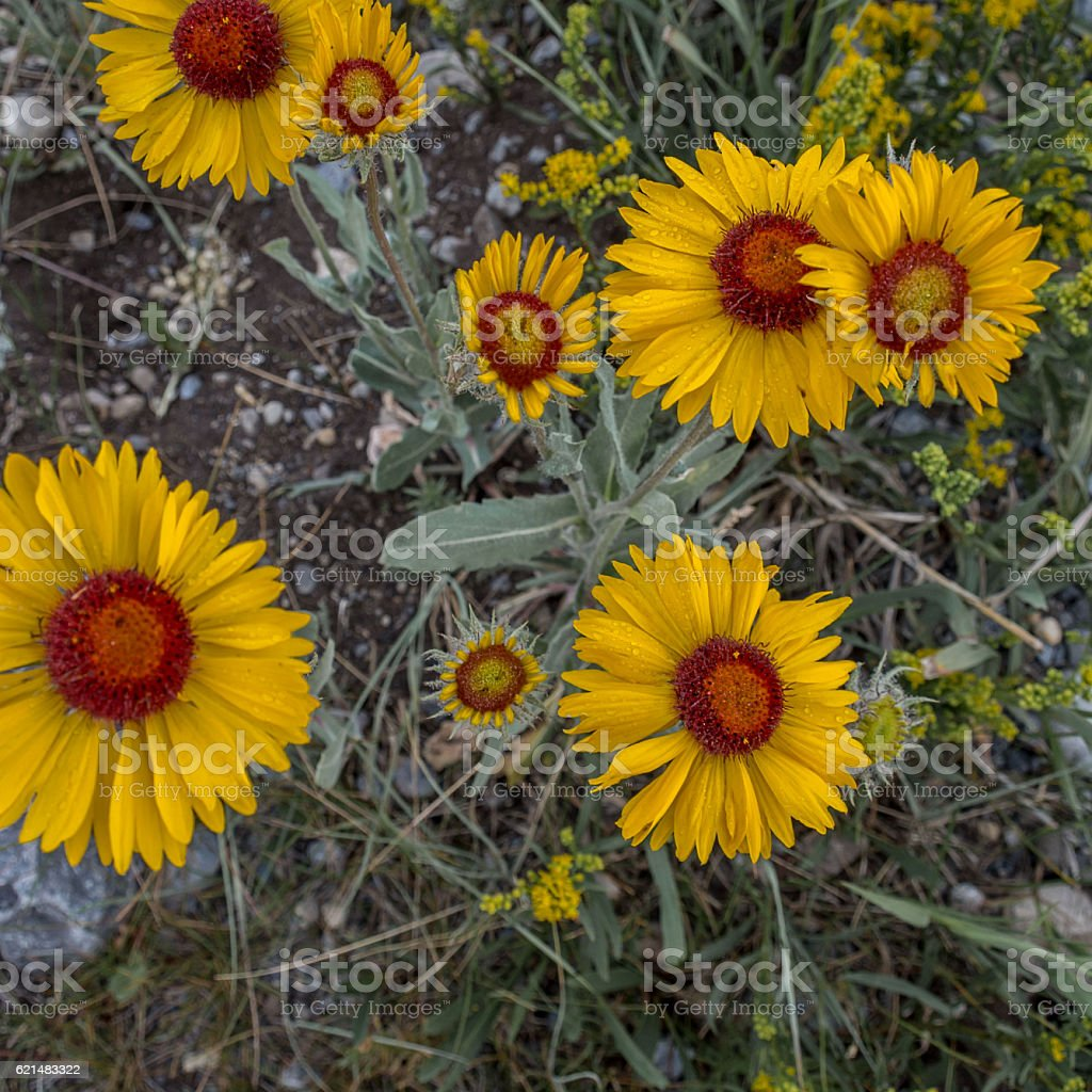 Rocky Mountain Wildflower Blanketflower Gaillardia stock photo