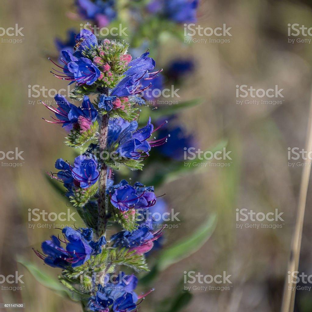 Rocky Mountain Wildflower Blueweed Echium vulgare stock photo