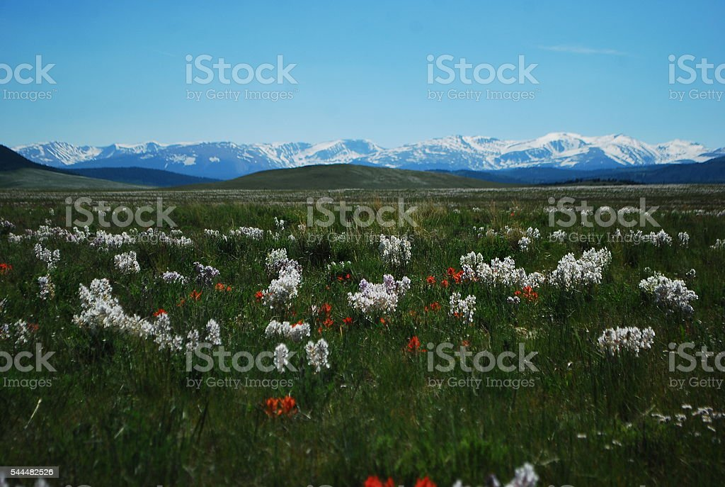 Rocky Mountain Wildflowers stock photo