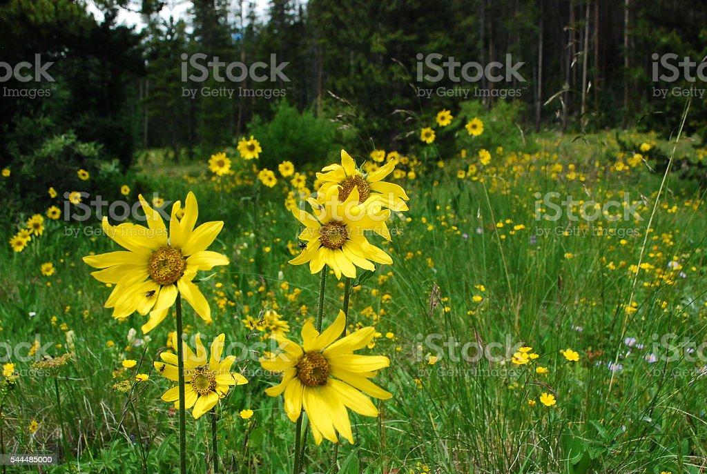 Rocky Mountain Wildflowers-Heartleaf Arnica stock photo