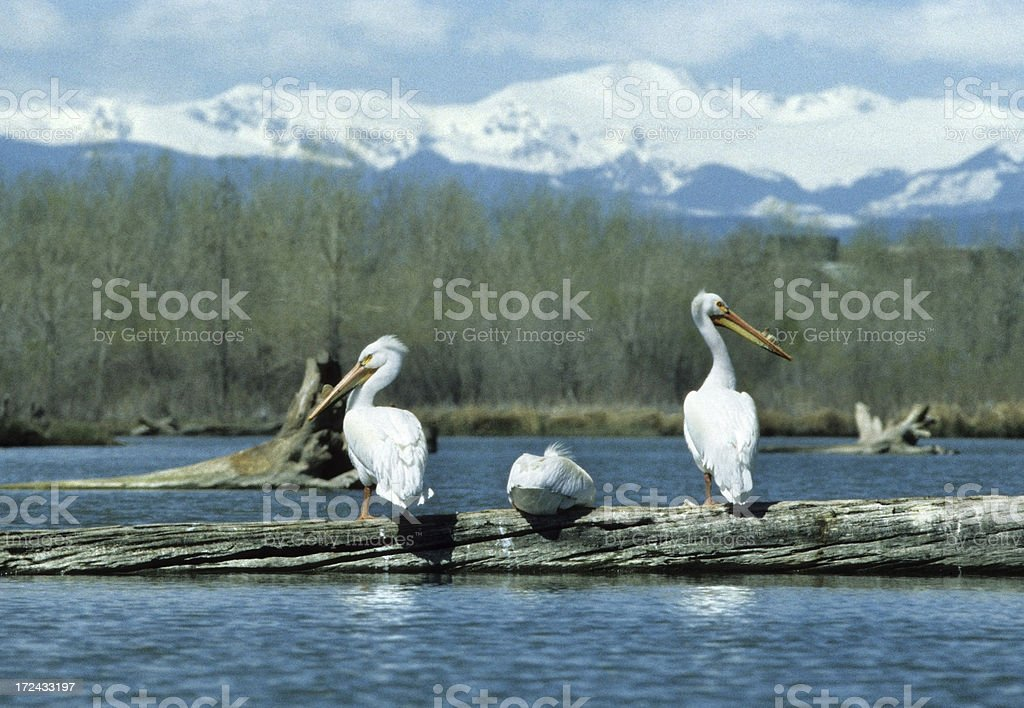 Rocky Mountains and Cherry Creek pelicans Colorado royalty-free stock photo