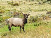 Rocky Mountains Elk