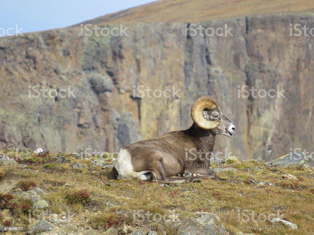 Rocky Mountains mountain sheep stock photo