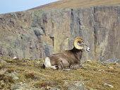 Rocky Mountains mountain sheep