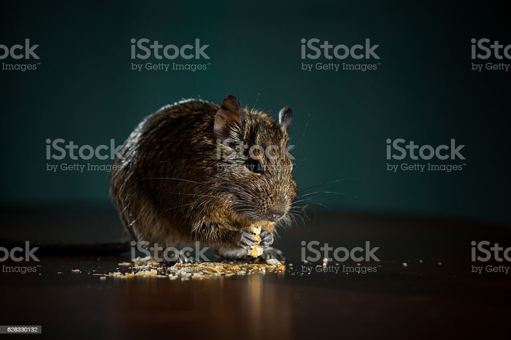 rodent eat stock photo