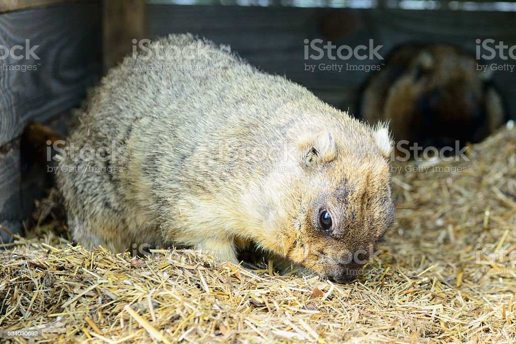 rodent eats hay stock photo