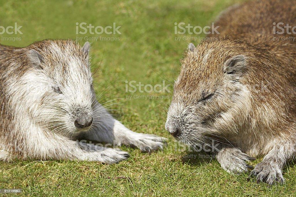 Rodent. Hutia-conga royalty-free stock photo
