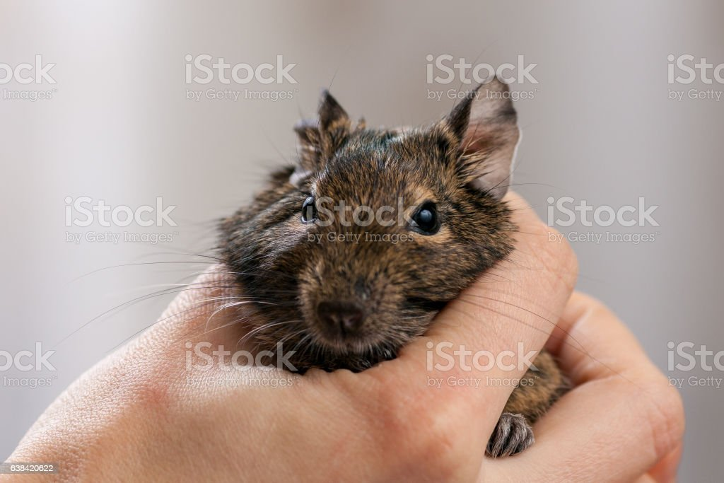 rodent in hand stock photo
