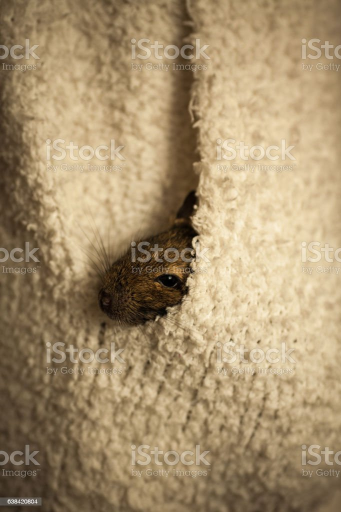 rodent in pocket stock photo