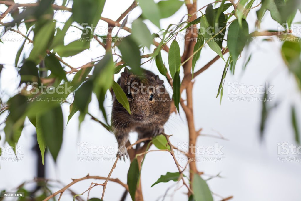rodent on branch stock photo