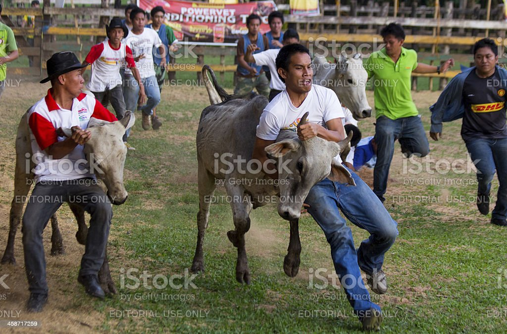 Rodeo festival and cattle wrestling stock photo