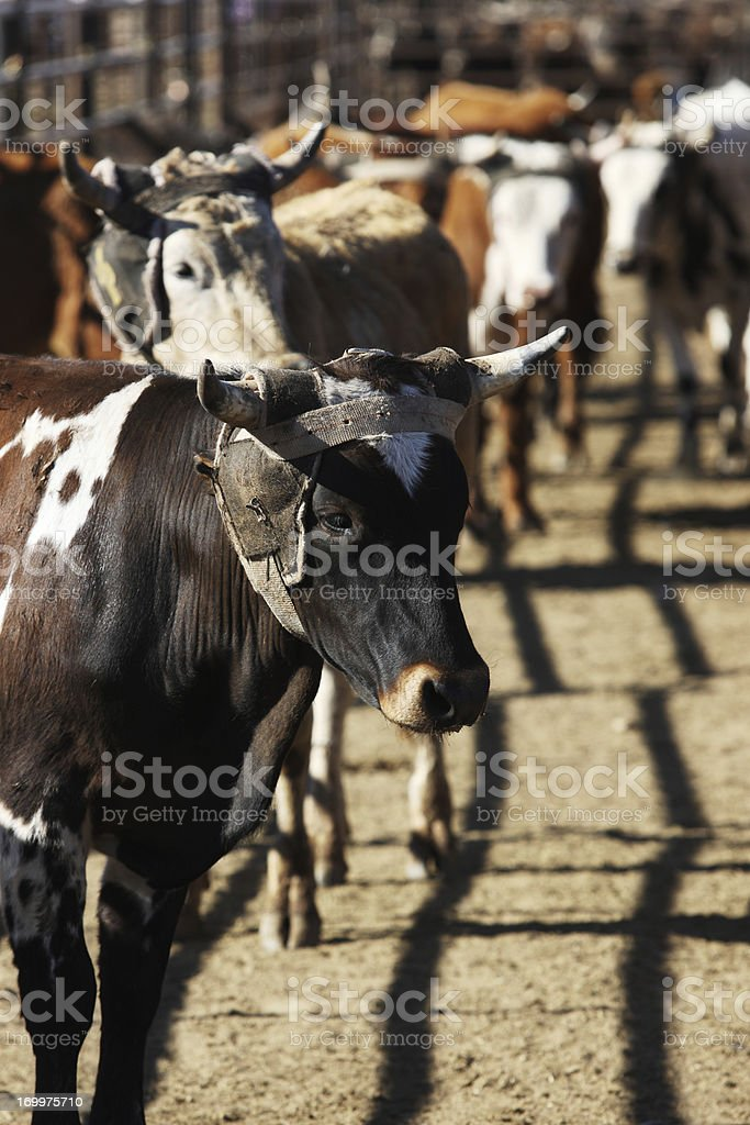 Rodeo Steers Corral Enclosure royalty-free stock photo