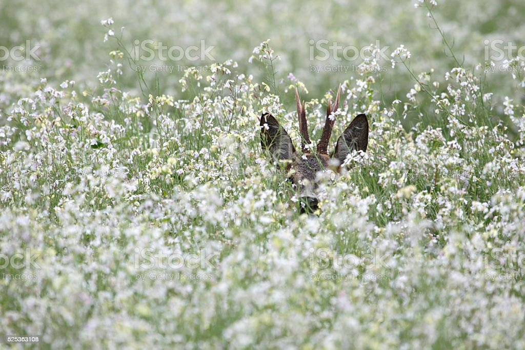 Roe buck in field with white radish stock photo