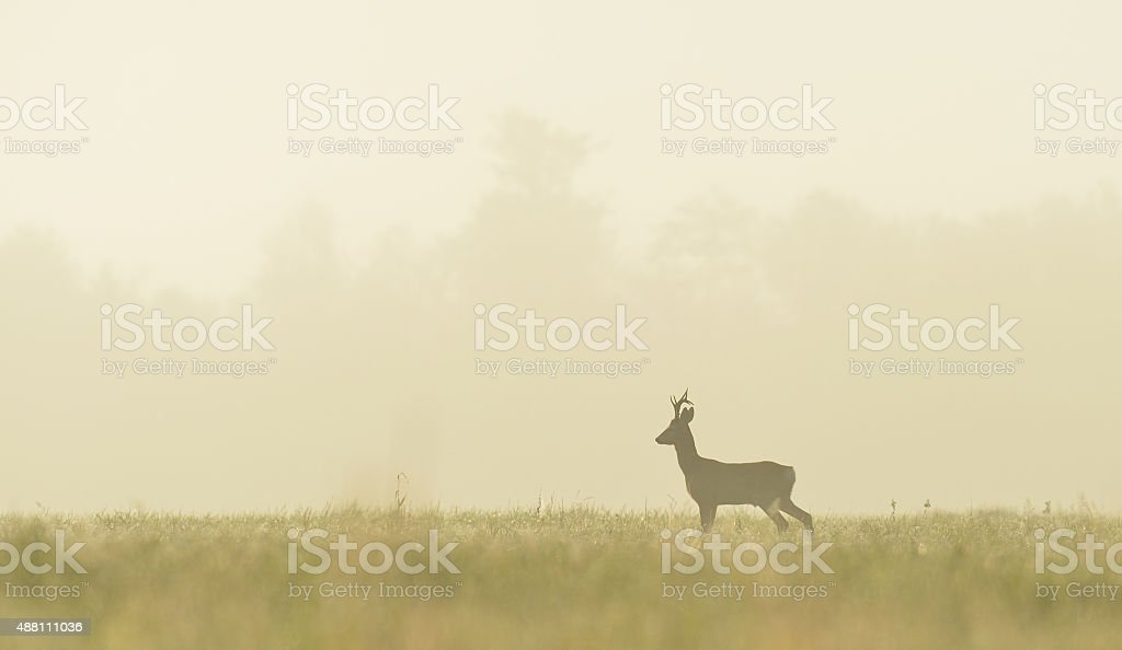 roe buck in the mist at sunrise stock photo
