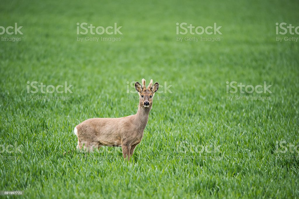 roe buck standing in a wheat field looking at camera stock photo