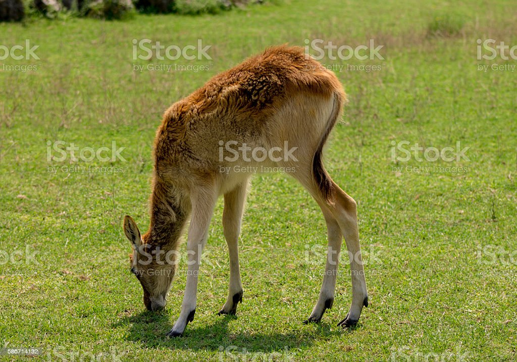 roe deer baby playing in the field stock photo