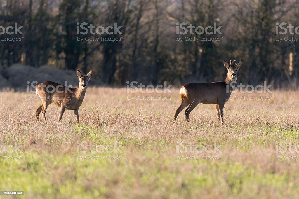 Roe deer (Capreolus capreolus) buck and doe in field stock photo