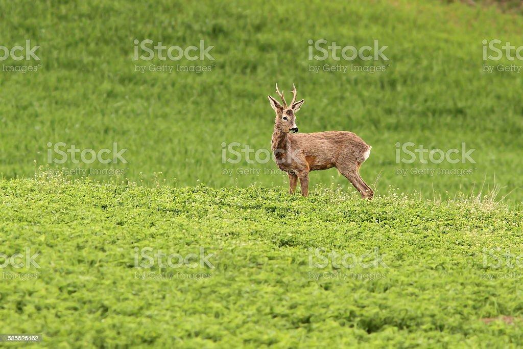 roe deer buck grazing stock photo