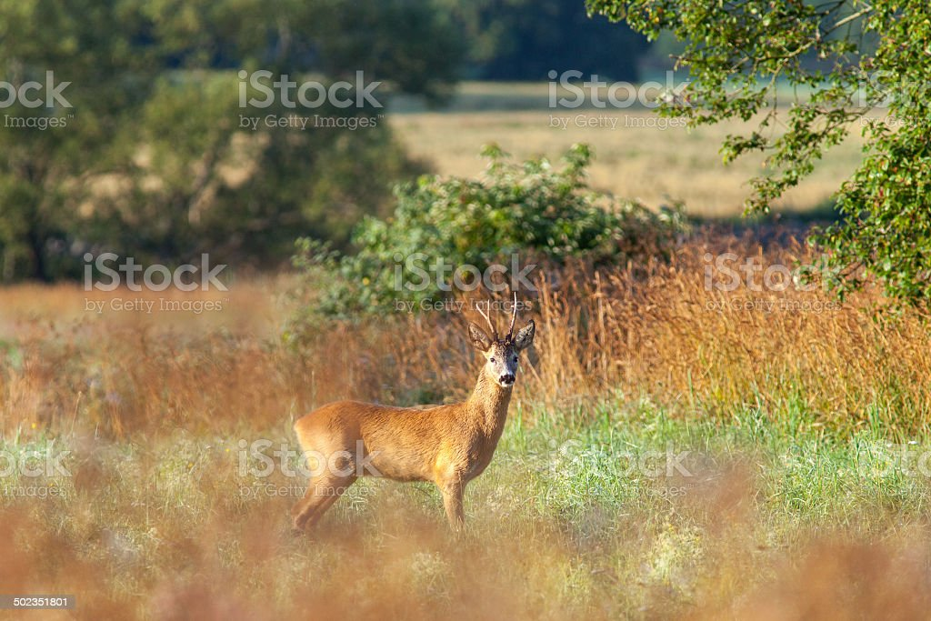 Roe deer buck stock photo