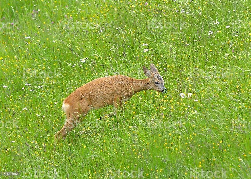 Roe Deer - Capreolus capreolus Doe in wildflower hay meadow stock photo