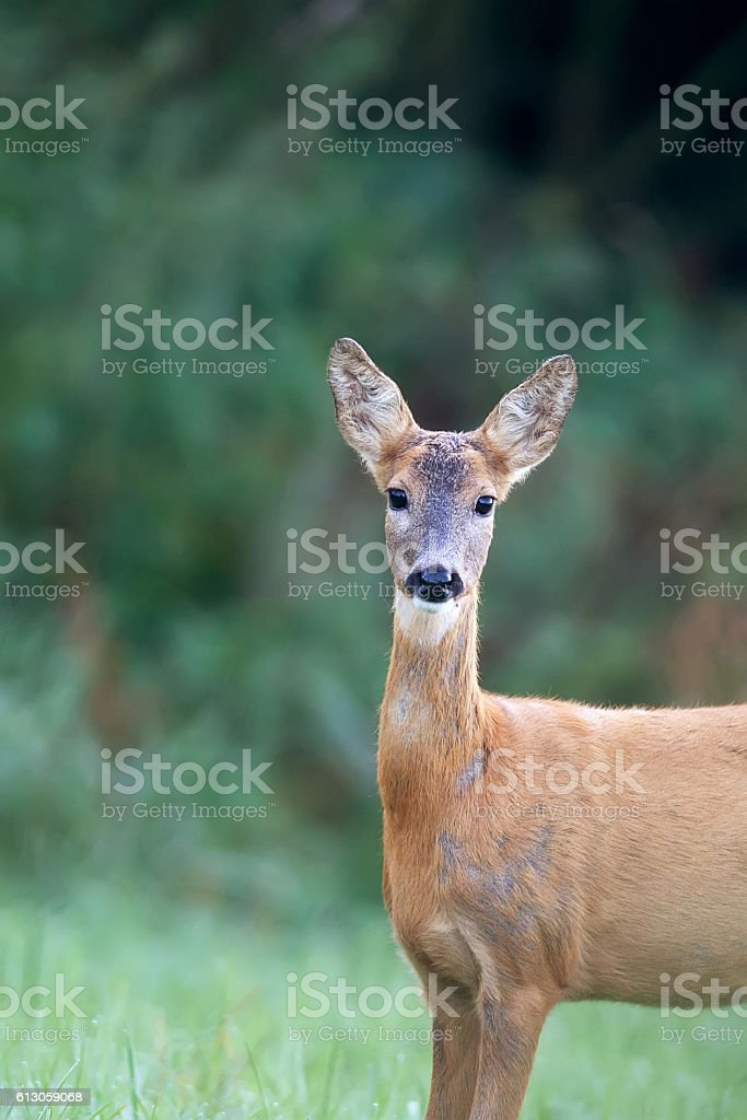 Roe deer in a clearing, a portrait stock photo