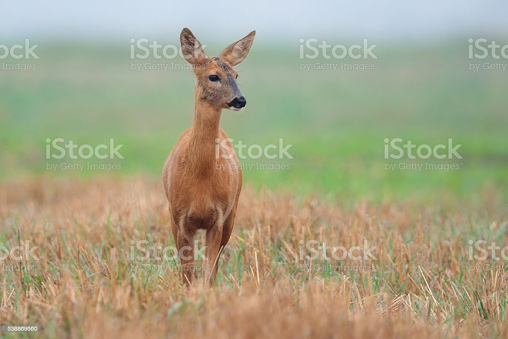 Roe deer in a clearing stock photo
