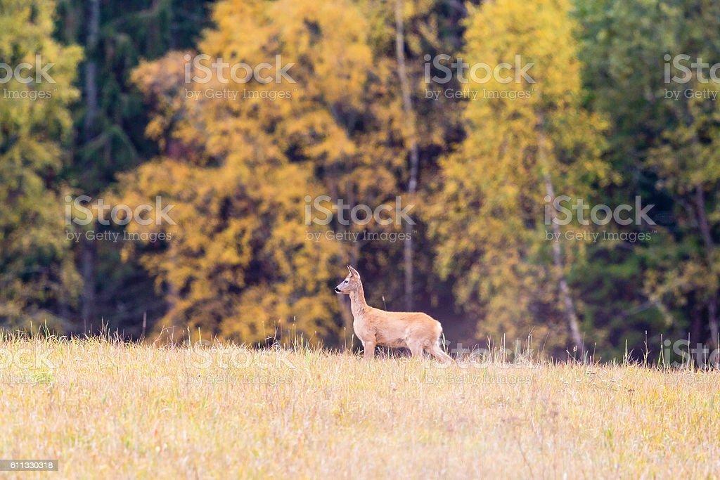 Roe deer in a meadow stock photo
