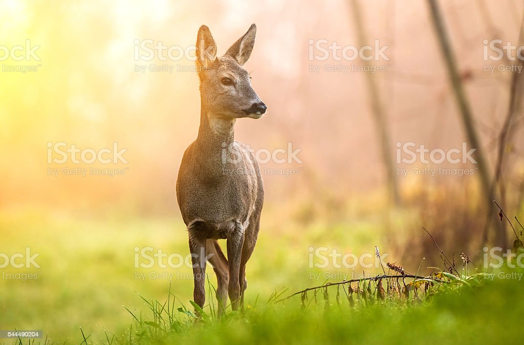 Roe deer in early morning light stock photo