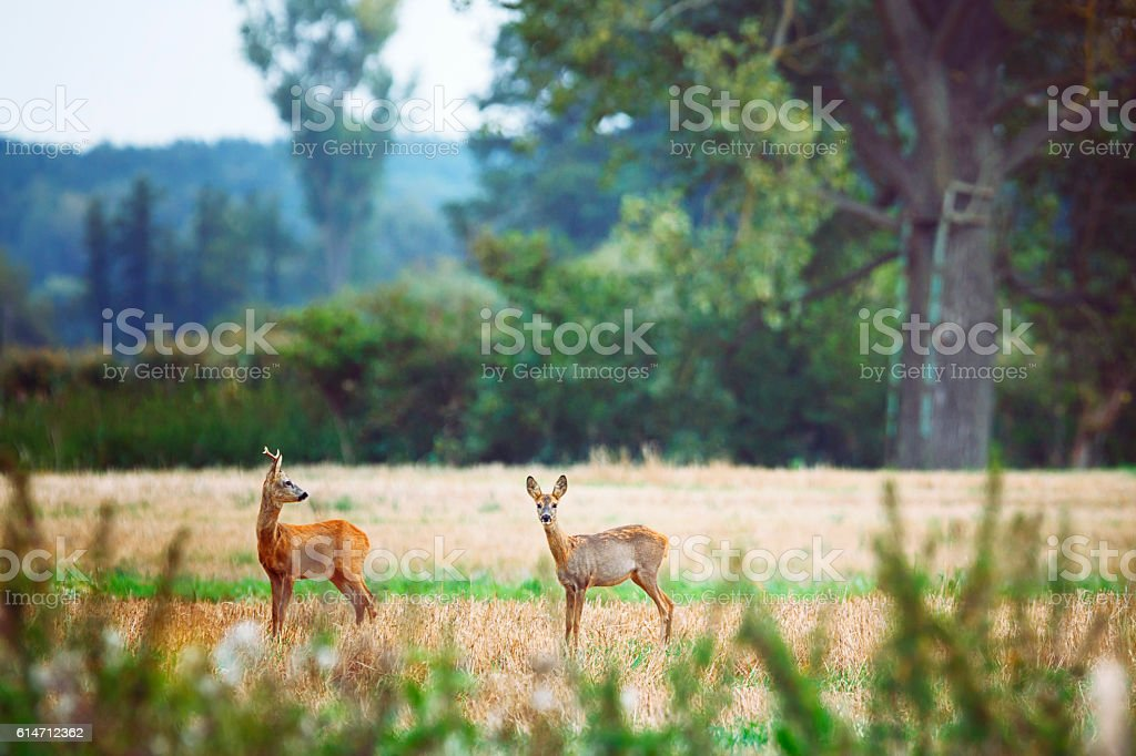 Roe deer in the meadows of Oderbruch Germany stock photo