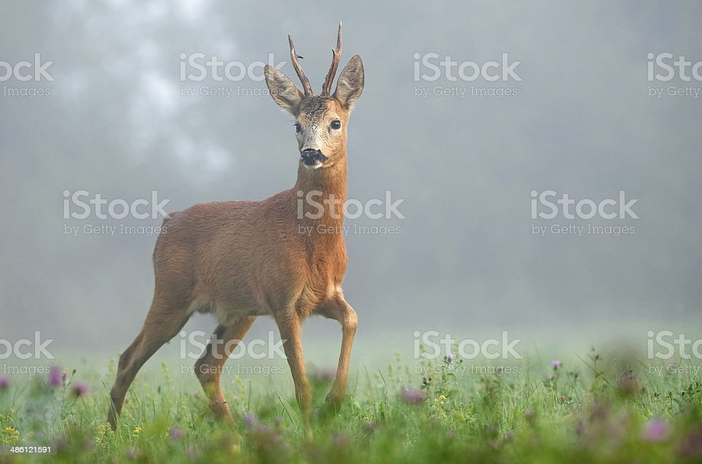 Roe deer in the morning stock photo