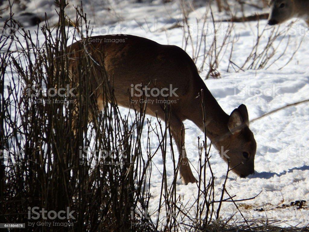 roe deer in winter stock photo