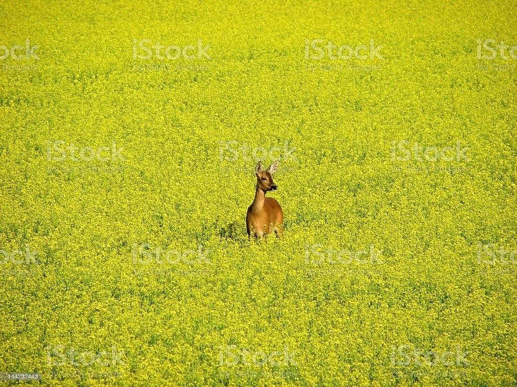Roe deer in yellow field royalty-free stock photo