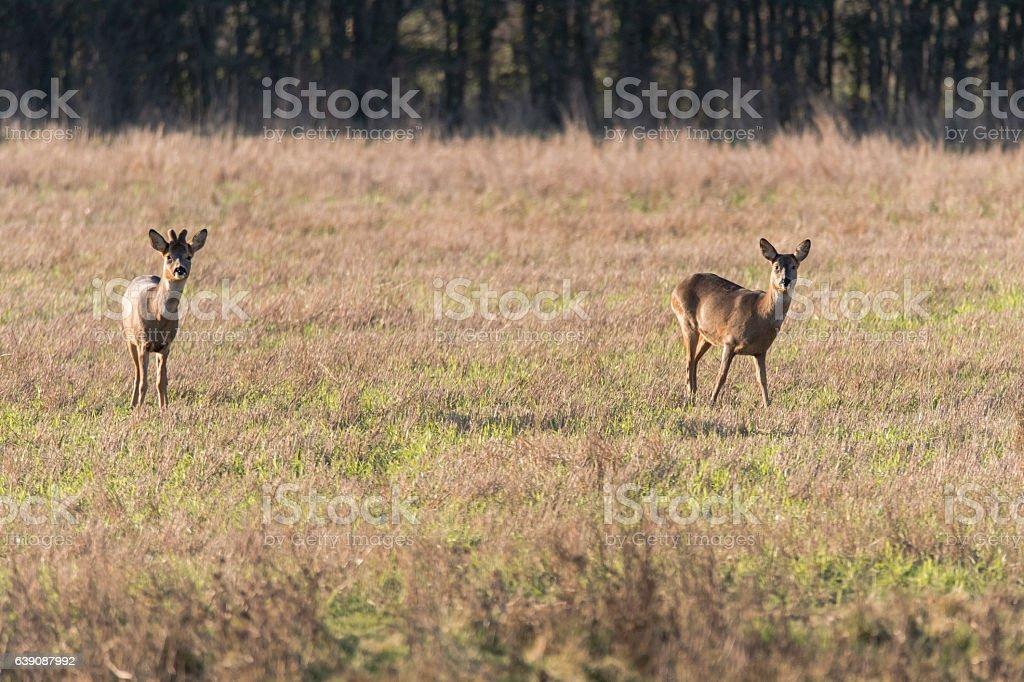 Roe deer (Capreolus capreolus) male and female in field stock photo