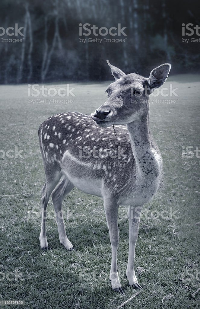 roe deer moonshine stock photo