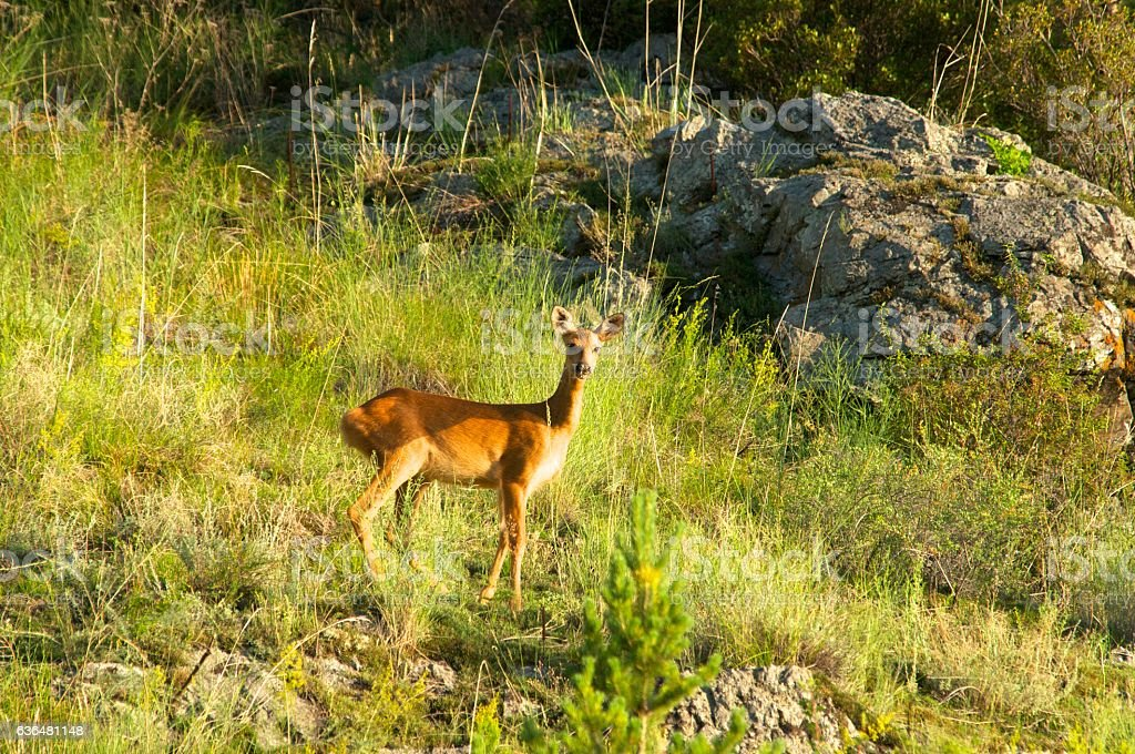 Roe deer on a background of green grass stock photo