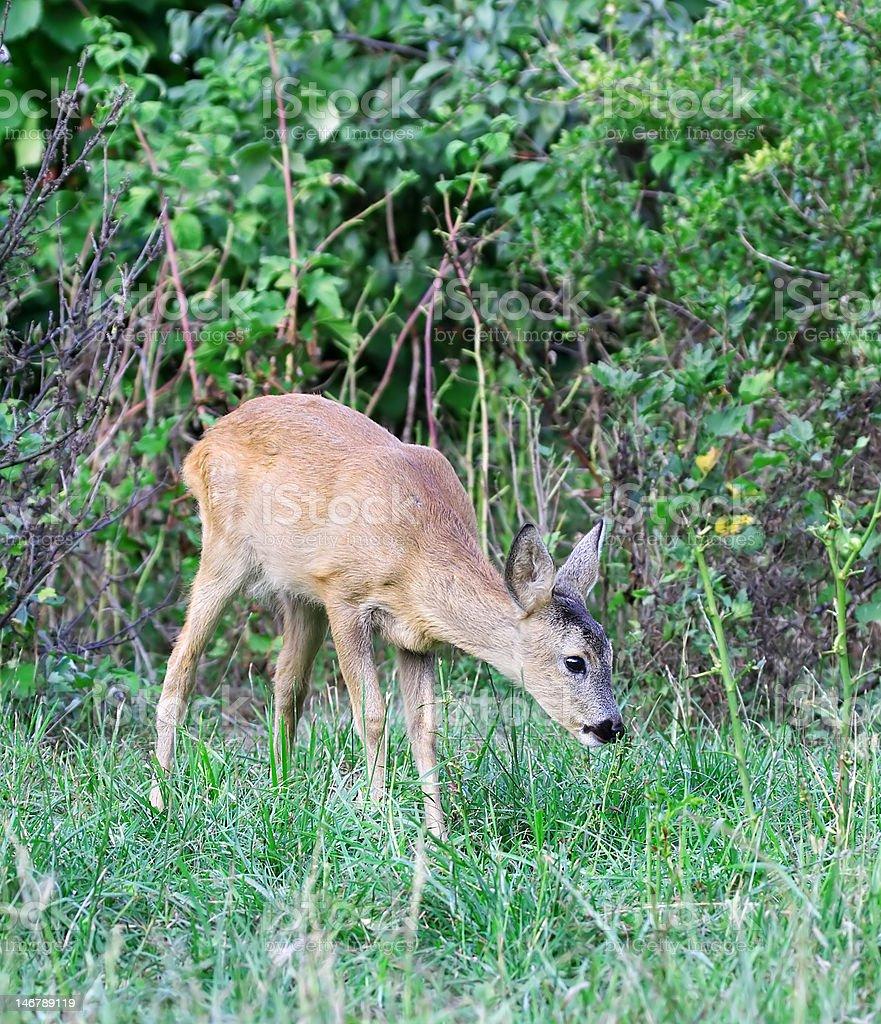 Roe deer. royalty-free stock photo